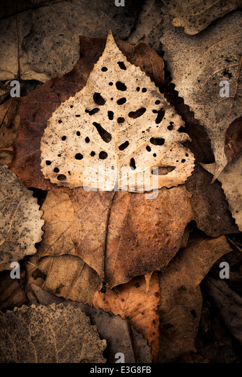 A partially decayed Eastern Cottonwood leaf - Stock Image
