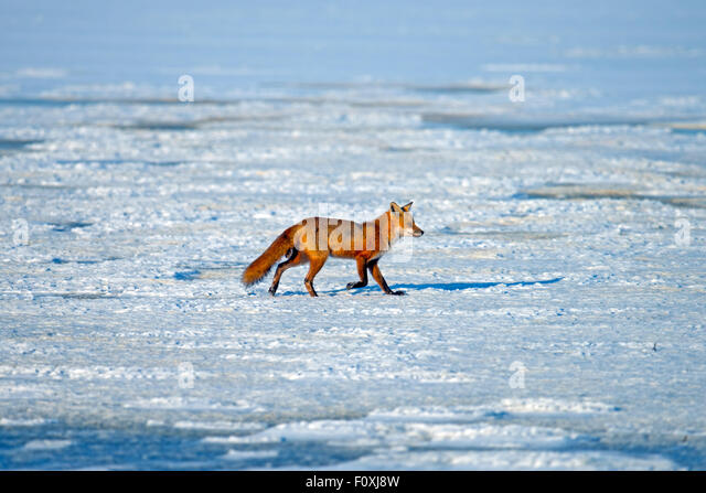 Red Fox Walking on a Frozen Lake - Stock Image