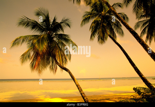 Palm trees lean over the quiet calm caribbean sea near sunset at pigeon point, tobago, ideal tropical island scenic - Stock Image