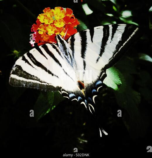 a butterfly lands on a flower - Stock Image