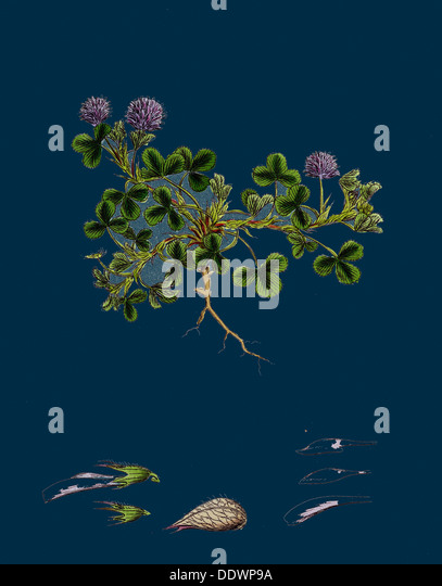 Trifolium resupinatum; Reversed-flowered Trefoil - Stock Image
