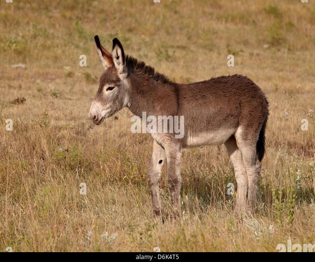 Young wild burro (donkey) (Equus asinus) (Equus africanus asinus), Custer State Park, South Dakota, USA - Stock Image