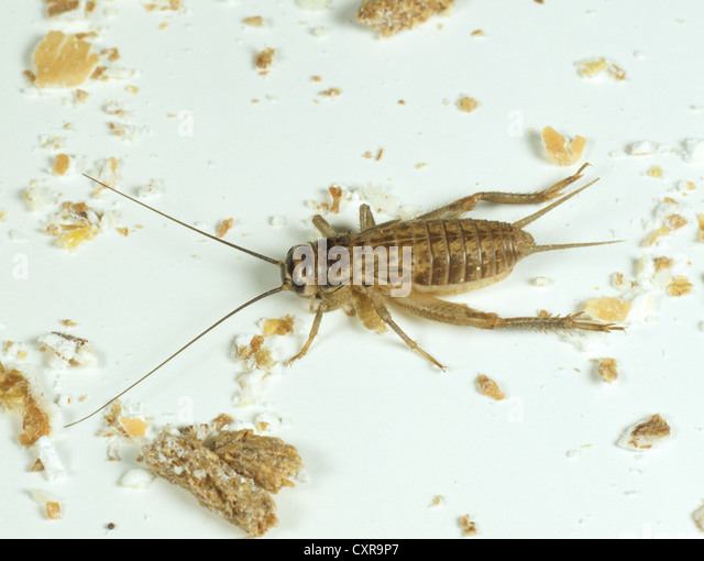 House cricket , Acheta domestica, nymph among kitchen detritis - Stock Image