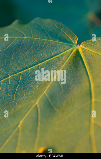 Maple leaf with striking veins. The surface of the leaf uses photosynthesis to convert carbon dioxide into organic - Stock Image