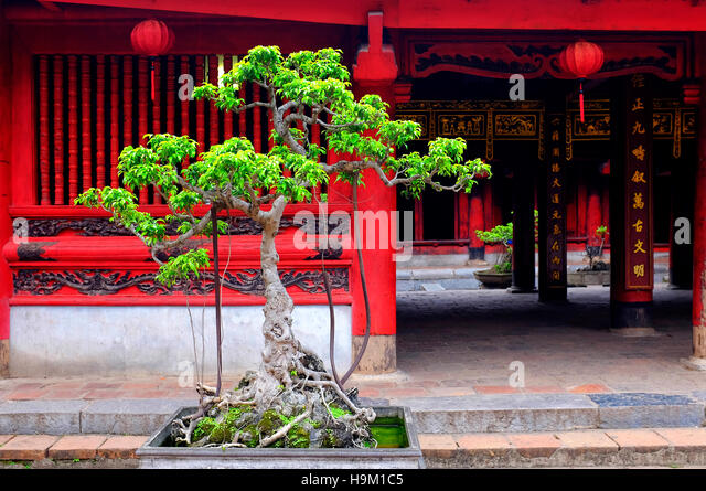 Cam sanh tree in the fifth courtyeard of the Temple of Literature, Hanoi, Vietnam - Stock Image