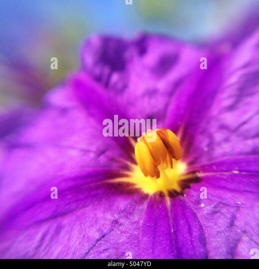 Macro of a purple flower - Stock Image