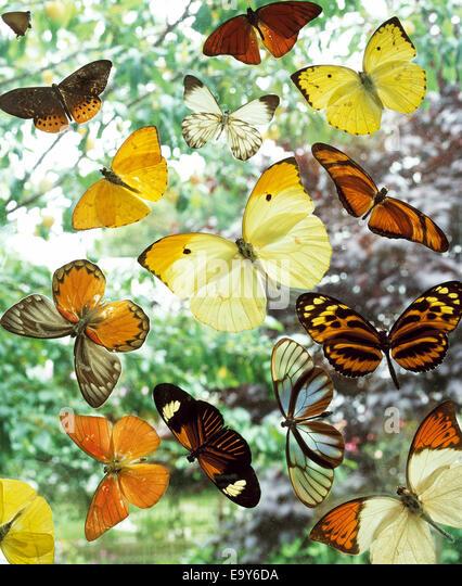 various butterflies - Stock Image