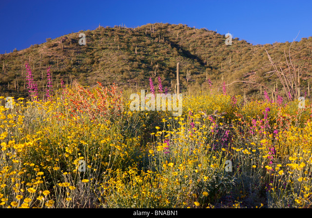 Spring wildflowers, Tonto National Forest, East of Phoenix, Arizona. - Stock-Bilder