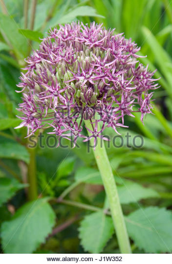 ALLIUM FIRMAMENT - Stock Image