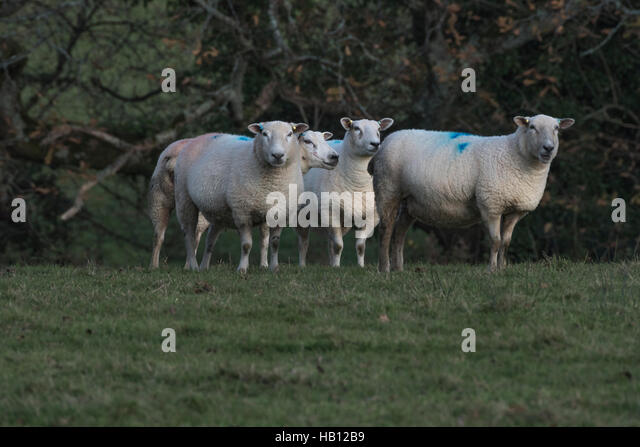 Small part of a flock of Texel-Suffolk crossed sheep. As potential metaphor for herd instinct, sheep-like, customers, - Stock Image