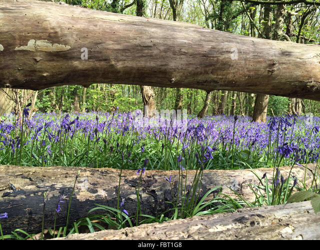 English bluebells in April at New Park Wood in Staffordshire, UK - Stock-Bilder