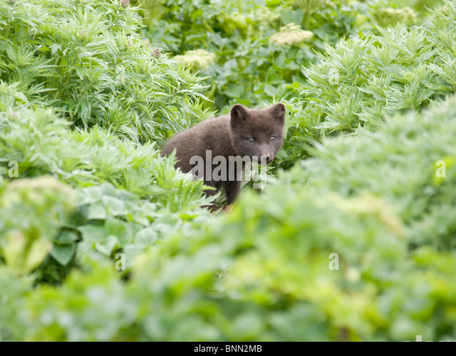 View of Arctic Fox kit near its den, St. Paul Island, Alaska, Summer - Stock Image