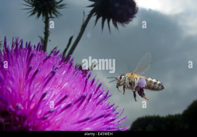 Honey bee (Apis mellifera) hovering over a purple flower. Paris, France - Stock Image