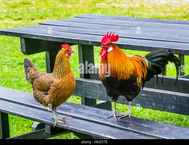Denmark, Funen, Odense, hen and rooster occupy a picnic table at the Funen village open air museum - Stock Image