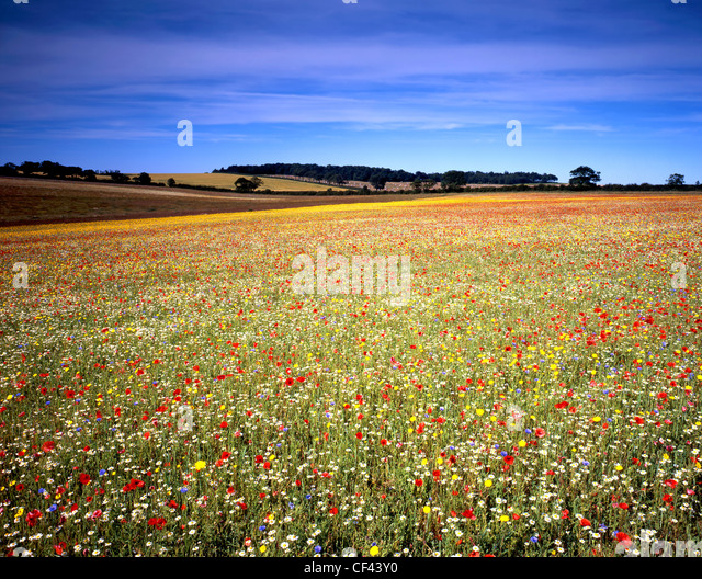 View across a field of wild flowers at Courtyard Farm, an organic farm on Ringstead Downs. - Stock Image