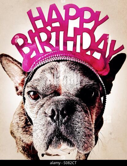 A grumpy french bulldog wearing a happy birthday tiara. - Stock Image