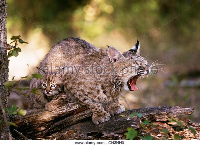 Bobcat with kitten, Bob Marshall Wilderness, Montana - Stock Image