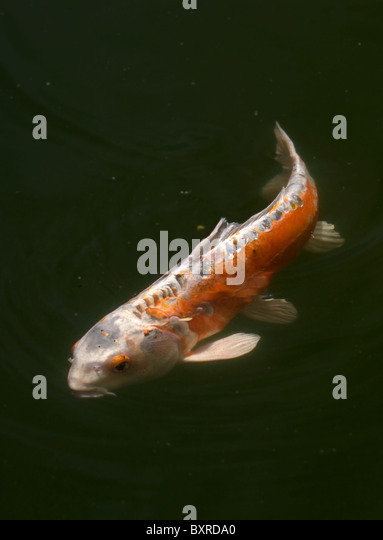Goldfish variety stock photos goldfish variety stock for Cyprinus carpio koi