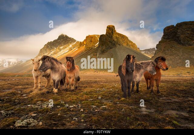 Wild horses, South Coast, Iceland - Stock-Bilder