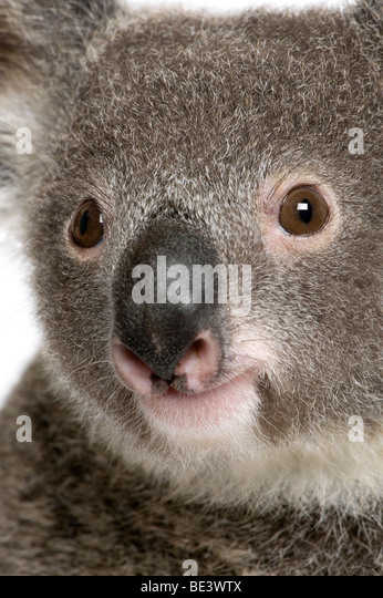 Close-up portrait of male Koala bear, Phascolarctos cinereus, 3 years old - Stock Image