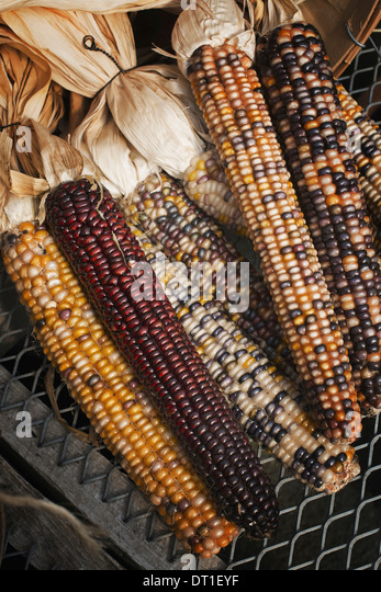 A variety of Indian corn cobs with different natural colours and patterns Maize - Stock Image