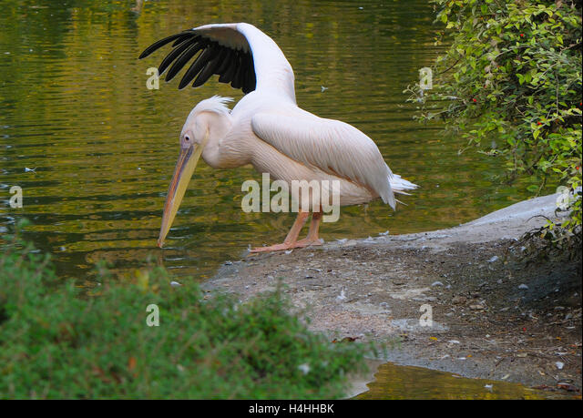 Pelican(Pelecanus onocrotalus) stretching beside a pool of water. - Stock Image