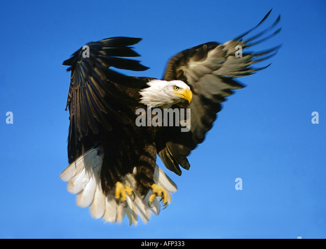 USA IDAHO American Bald Eagle in flight preparing to land in Birds of Prey area - Stock Image
