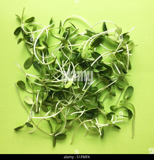 Sunflower sprouts. - Stock Image
