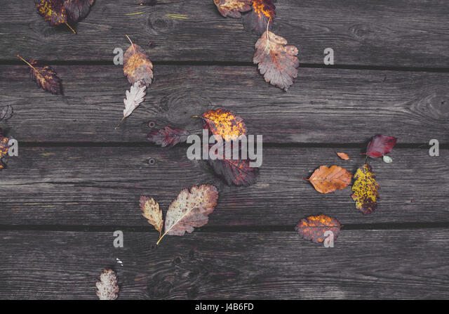 Colorful autumn leaves in the fall on wooden planks in the autumn season in colorful autumn colors from oak and - Stock Image