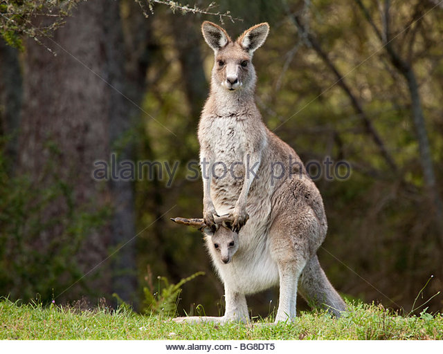 Eastern Grey Kangaroo with joey in pouch in Bendethera Valley in Deua National Park, New South Wales, Australia - Stock Image
