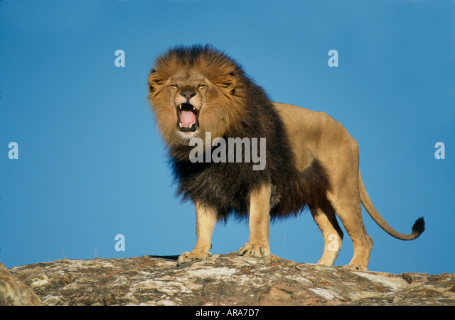 Male Lion Roaring - Stock Image