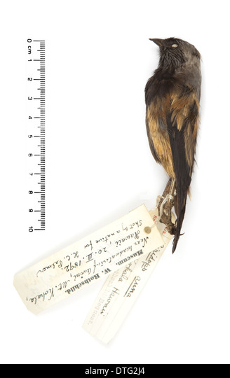 Ciridops anna, Ula-ai-hawane - Stock Image