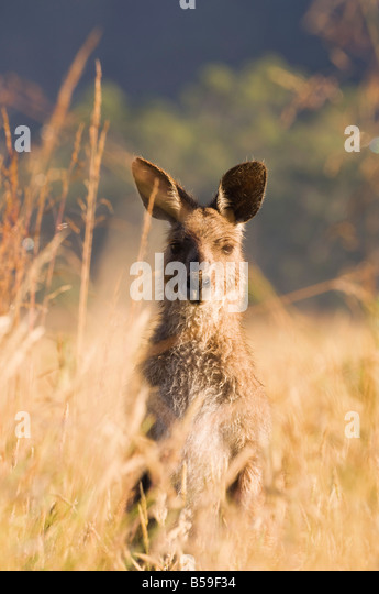 Eastern grey kangaroo, Geehi, Kosciuszko National Park, New South Wales, Australia, Pacific - Stock Image