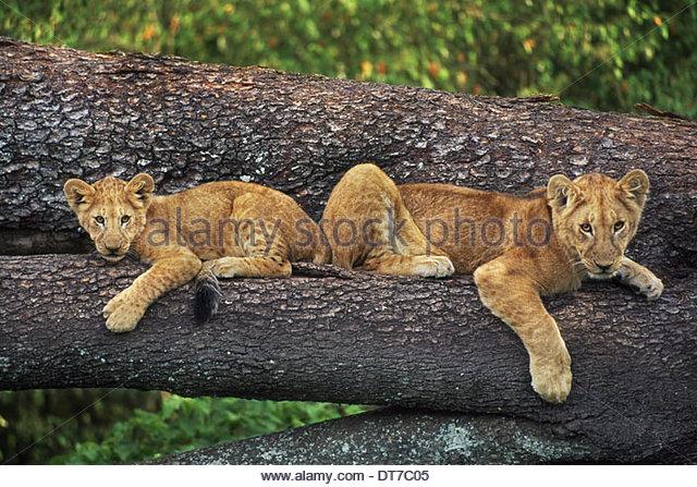 Lion cubs on tree Panthera leo Masai Mara Reserve Kenya Masai Mara Reserve Kenya - Stock Image