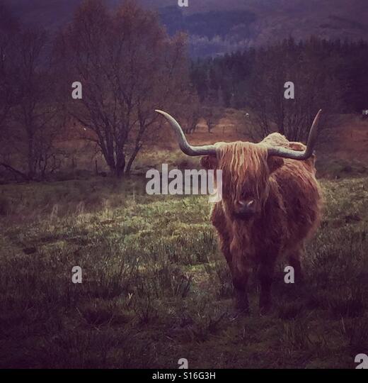 Highland Cow - Stock-Bilder