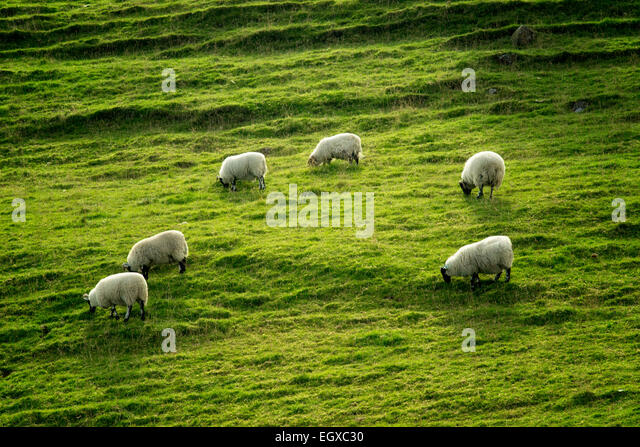 Sheep grazing on hillside. Glenariff. Northern Ireland. - Stock Image