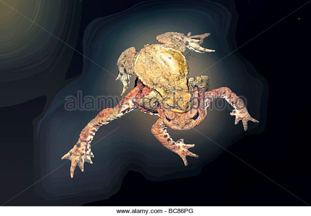 Mating Toads (Bufo bufo) - Stock Image