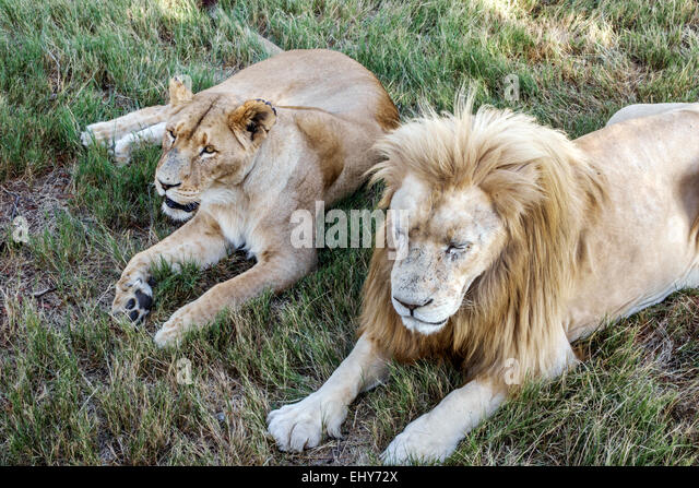 Johannesburg South Africa African Lion Park wildlife conservation male lion female - Stock Image