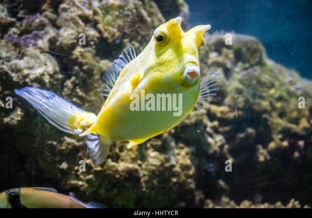 Yellow tang aquarium stock photos yellow tang aquarium for What is the fastest swimming fish