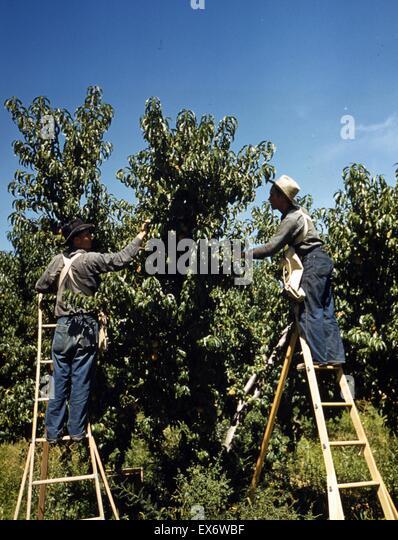 Pickers in a peach orchard, Delta County, Colorado. 1940. - Stock-Bilder