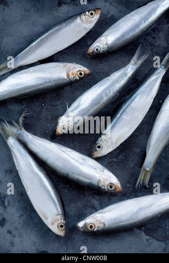 Close up of whitebait fish - Stock Image