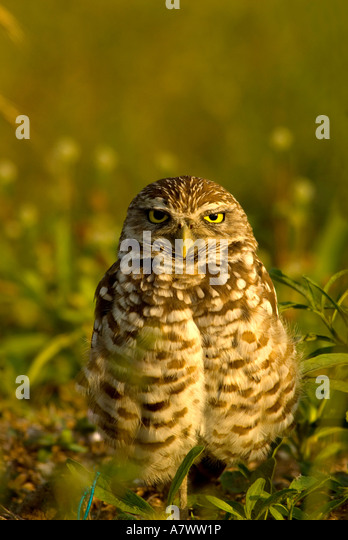 Burrowing owl Athene cunicularia portrait closeup fierce - Stock Image