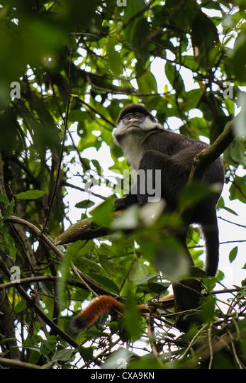 Red-tailed monkey, Bigodi Swamp, Uganda - Stock Image