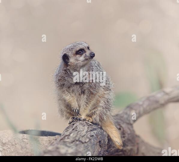Meerkat Sitting on a Branch - Stock-Bilder