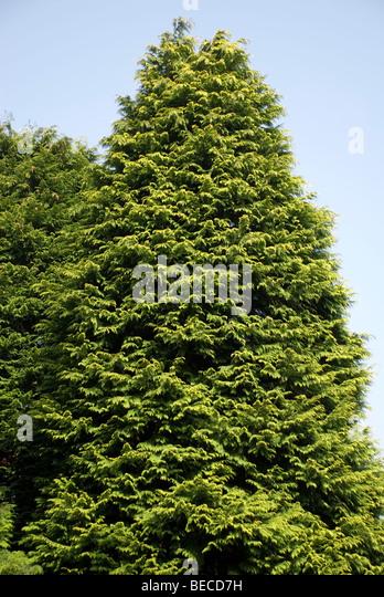 Chamaecyparis lawsoniana 'Aurea nova', Lawson's Cypress - Stock Image