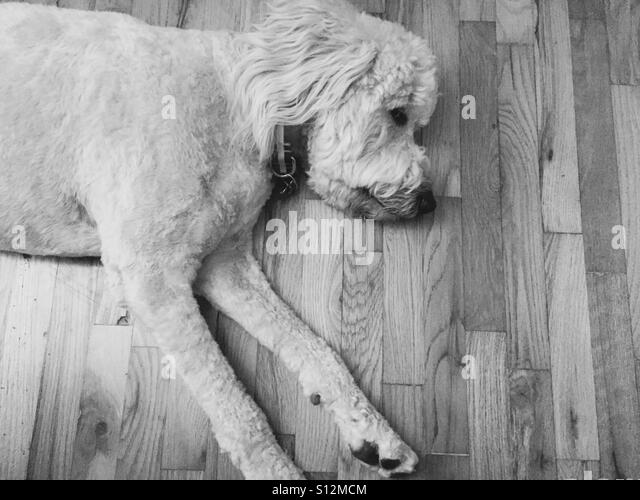 Labradoodle dog laying on the floor. - Stock Image
