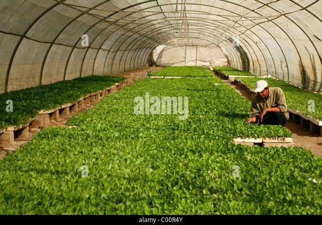 Lettuce growing in a greenhouse in the Jordan Valley, Jordan. - Stock-Bilder