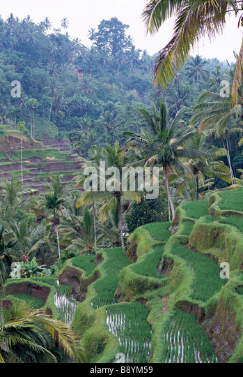 A terrace cultivation Bali. - Stock Image
