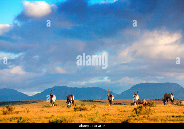 gemsbok grazing under african sky - Stock Image