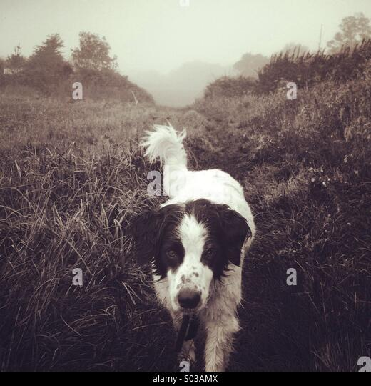 Collie spaniel cross on a foggy day - Stock Image